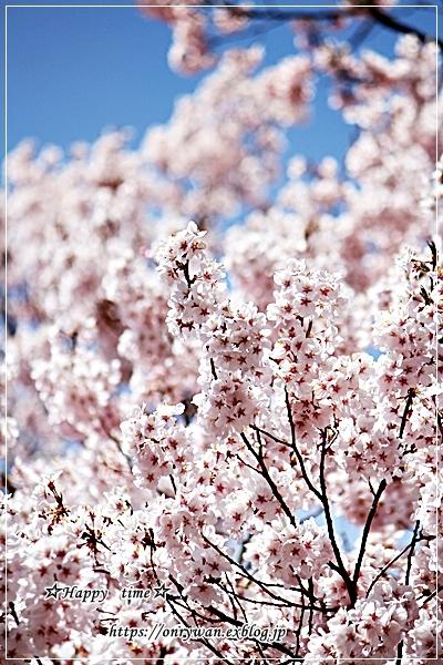磯辺で肉巻き弁当と桜満開とっても綺麗、と聞いたので♪_f0348032_18052140.jpg