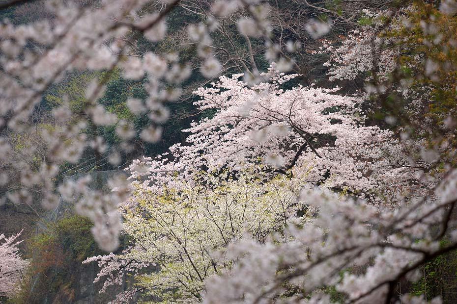 桜便り´19 #10_c0067040_23054530.jpg