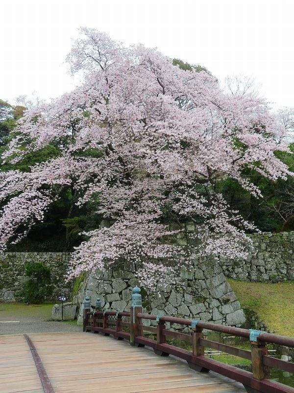 桜がきれいな彦根城(国宝)を散策20190410_e0237645_21080664.jpg