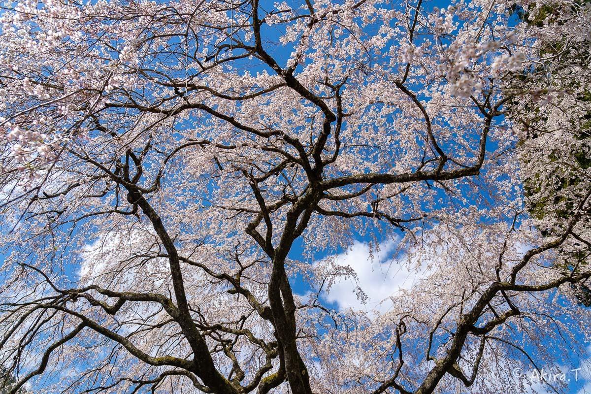 京都の桜 2019 〜6〜_f0152550_21161770.jpg