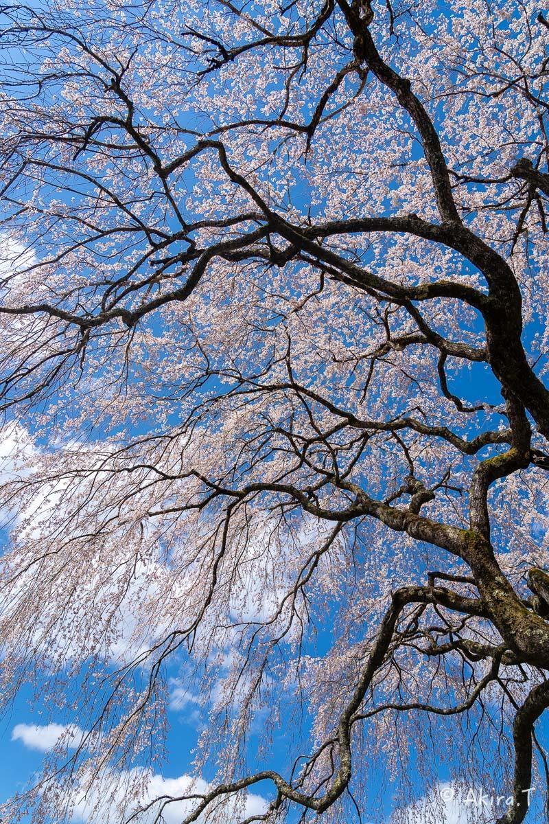 京都の桜 2019 〜6〜_f0152550_21165559.jpg