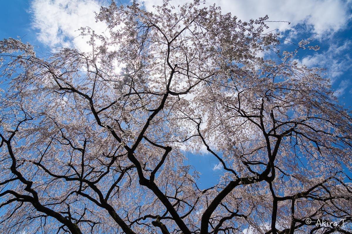 京都の桜 2019 〜6〜_f0152550_21191920.jpg