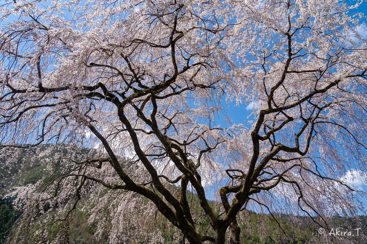 京都の桜 2019 〜6〜_f0152550_21192895.jpg
