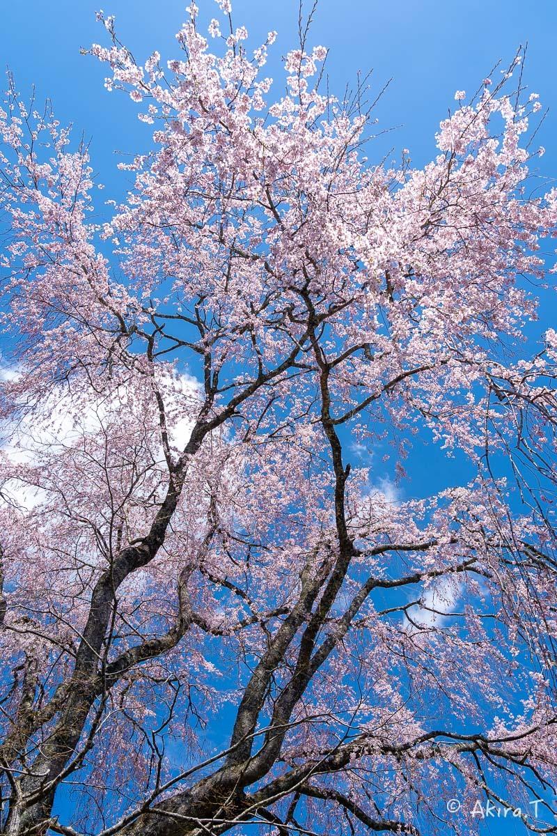 京都の桜 2019 〜6〜_f0152550_21223181.jpg