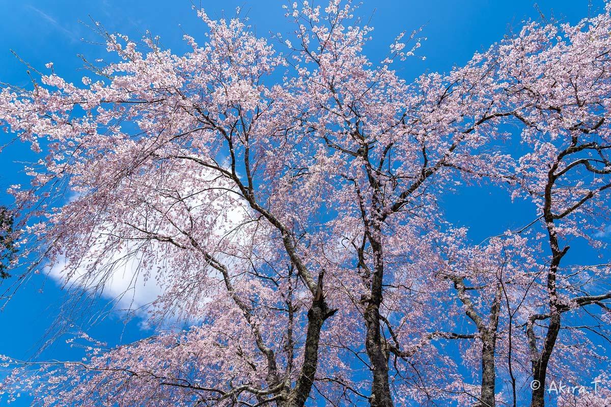 京都の桜 2019 〜6〜_f0152550_21223849.jpg