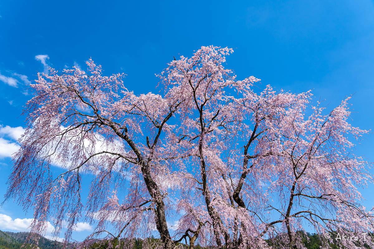 京都の桜 2019 〜6〜_f0152550_21225784.jpg
