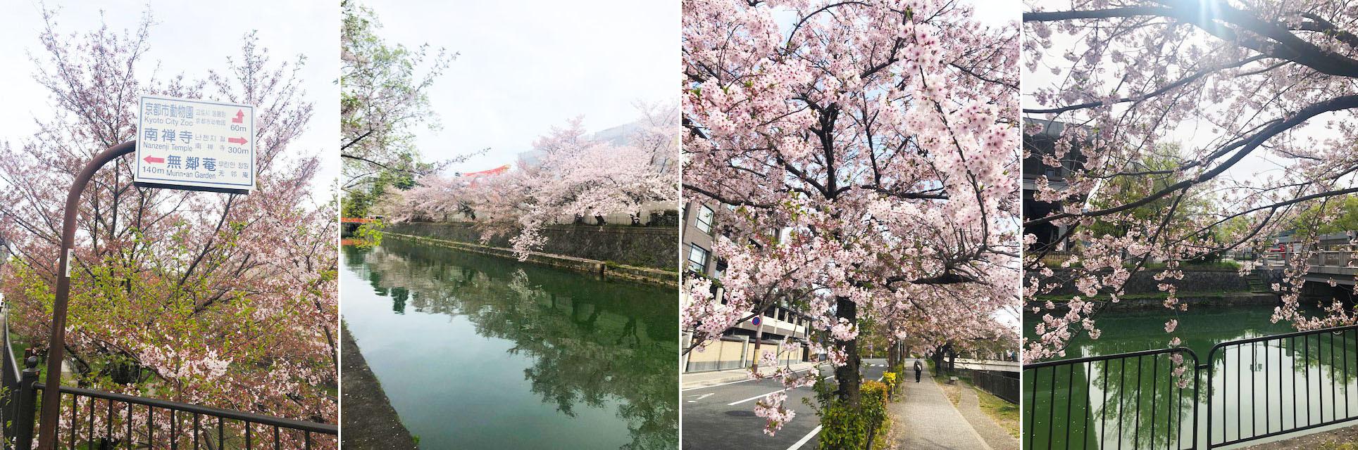 散りゆく桜も情趣あふれるもの。そして菖蒲や藤と移りゆく。_b0215856_14405151.jpg