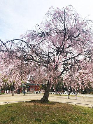 散りゆく桜も情趣あふれるもの。そして菖蒲や藤と移りゆく。_b0215856_14410436.jpg