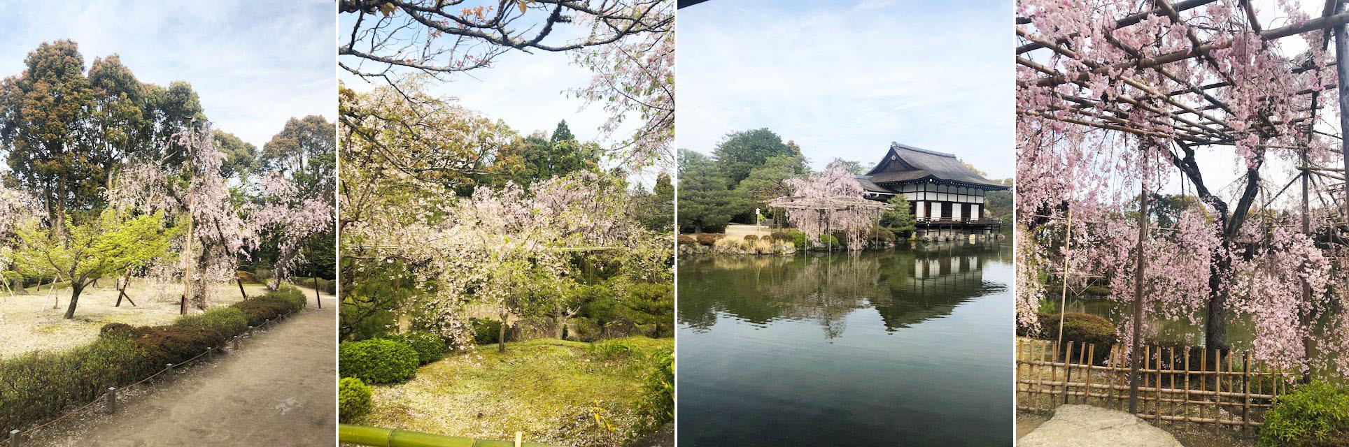 散りゆく桜も情趣あふれるもの。そして菖蒲や藤と移りゆく。_b0215856_14411128.jpg