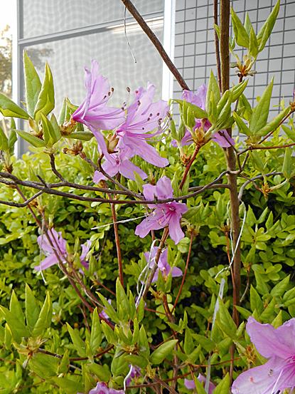 鎮守の森周辺に咲く春の花たち_e0066586_12251419.jpg