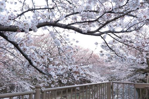 恩田川沿いの桜とセ・ラ・セゾン!C'est la Saison! のケーキ。_c0334705_04203120.jpg