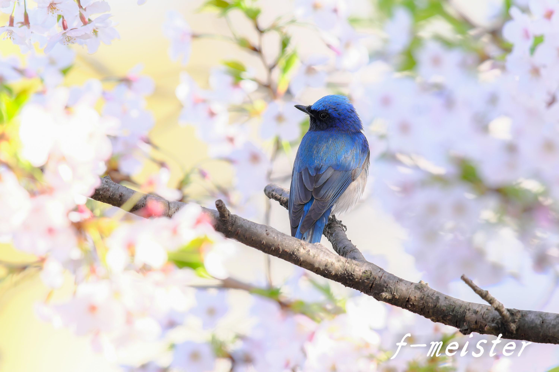 春の第2弾!!! 桜オオルリ!!!_d0359405_23531297.jpg