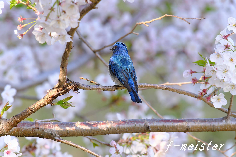 春の第2弾!!! 桜オオルリ!!!_d0359405_23532321.jpg