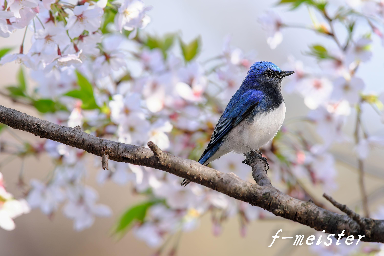 春の第2弾!!! 桜オオルリ!!!_d0359405_23581657.jpg