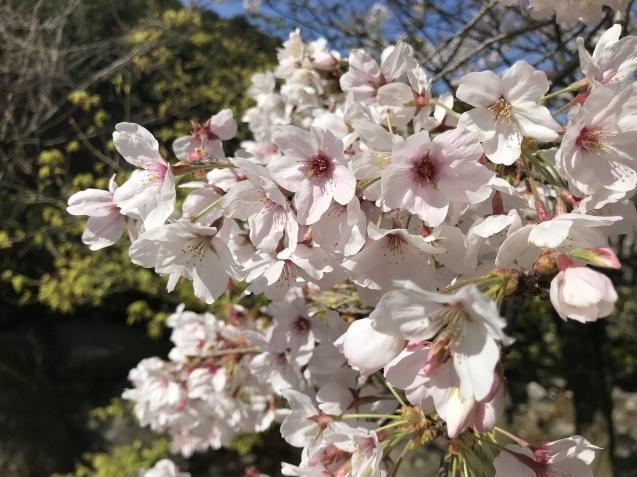 桜_b0061107_23340908.jpeg