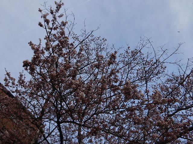石割桜が開花しましたね。_f0105112_18204732.jpg
