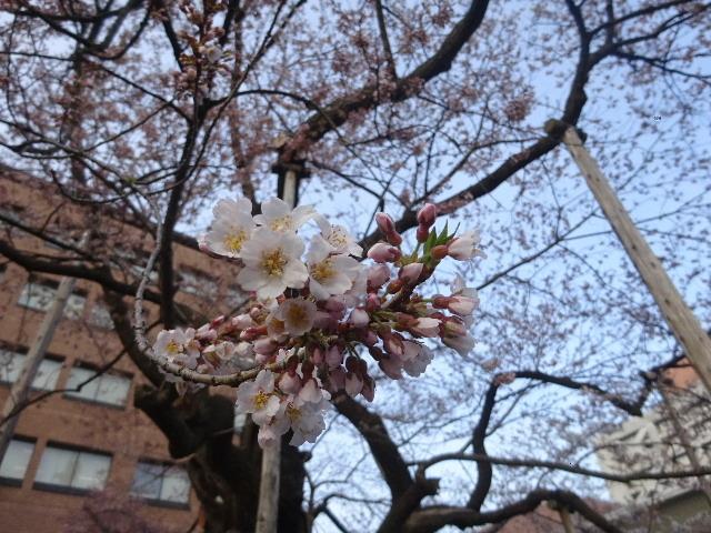 石割桜が開花しましたね。_f0105112_18204769.jpg