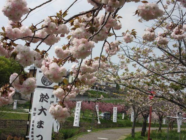 満開の八重桜「於大のみち」_d0247833_13523028.jpg
