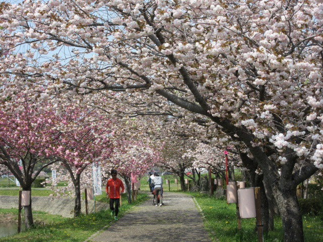 満開の八重桜「於大のみち」_d0247833_13530622.jpg