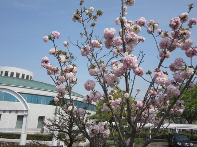 満開の八重桜「於大のみち」_d0247833_13532420.jpg