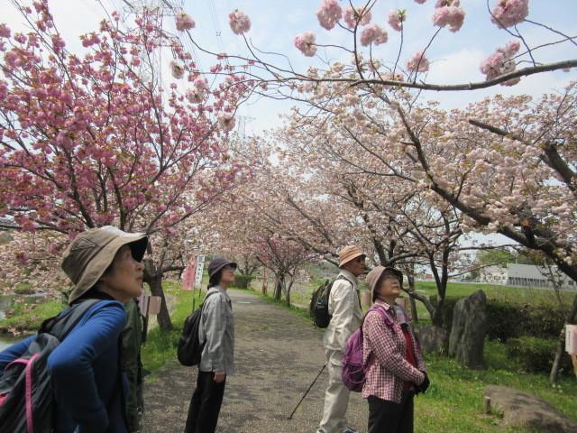 満開の八重桜「於大のみち」_d0247833_13540157.jpg