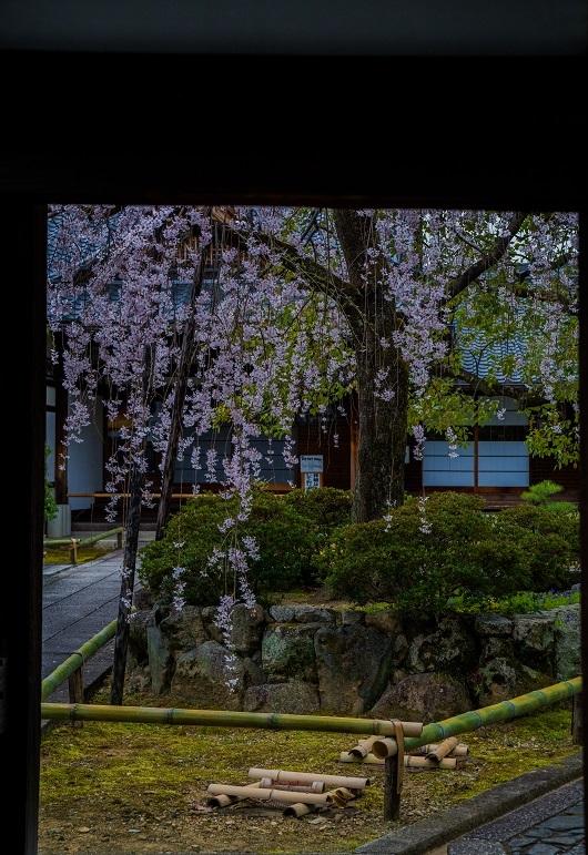 2019京都桜~上品蓮台寺の枝垂れ桜_e0363038_14222817.jpg