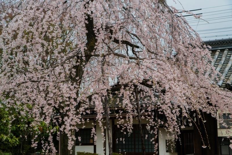 2019京都桜~上品蓮台寺の枝垂れ桜_e0363038_14223511.jpg