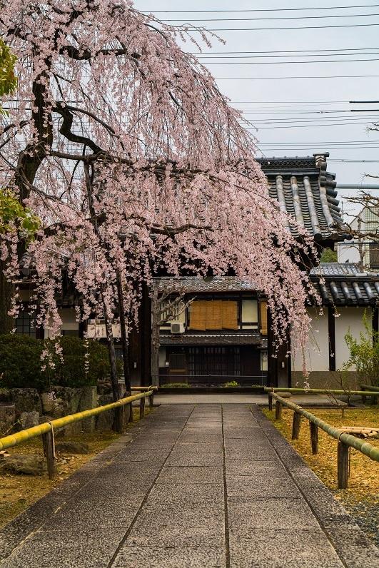 2019京都桜~上品蓮台寺の枝垂れ桜_e0363038_14224099.jpg