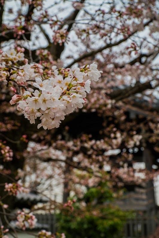 2019京都桜~上品蓮台寺の枝垂れ桜_e0363038_14224499.jpg