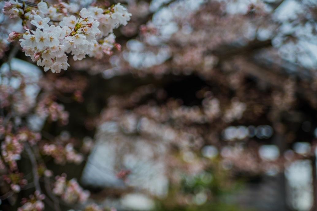 2019京都桜~上品蓮台寺の枝垂れ桜_e0363038_14224713.jpg