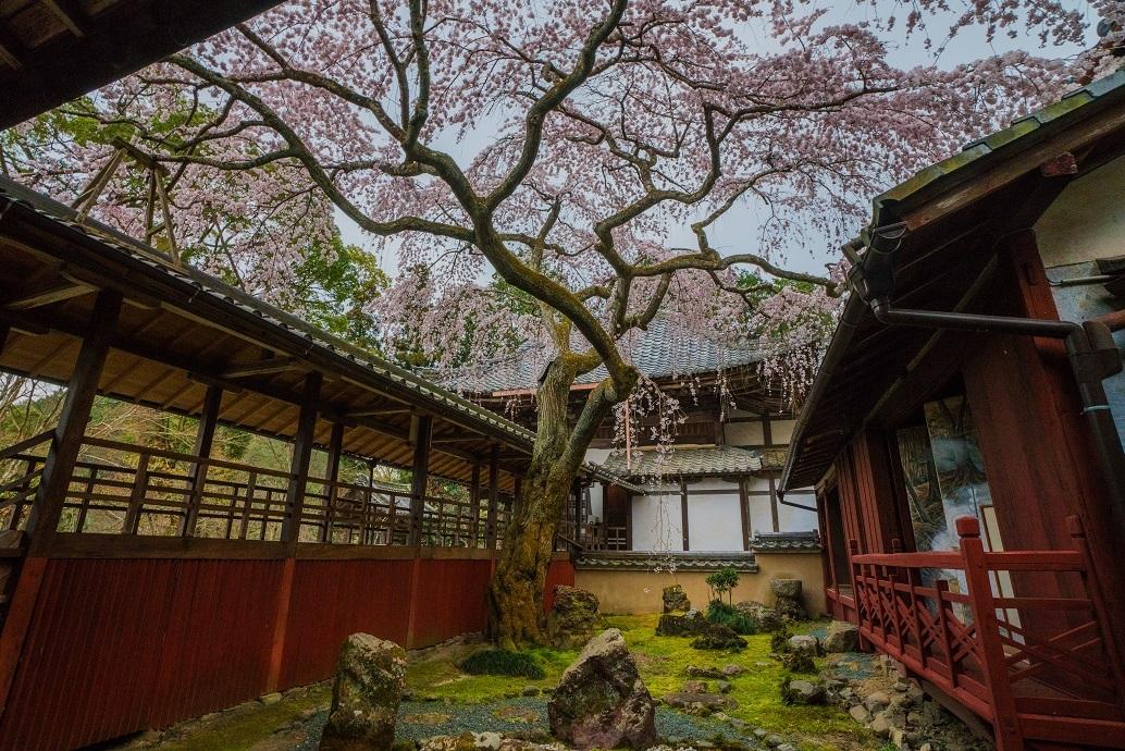 2019京都桜~十輪寺の業平桜_e0363038_14512000.jpg