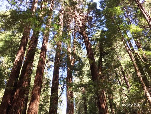 Spring Break in Muir Woods, CA スプリングブレイク in ミュアウッズ_e0253364_20154749.jpg