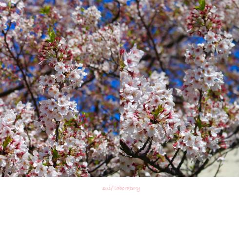 お花見 2019(まさかのPart3)_c0156468_17281389.jpg