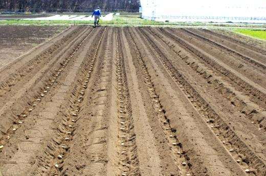 ジャガイモの種芋を蒔く(2019)_c0110869_05441784.jpg