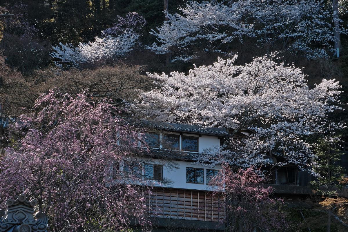 桜 2019_f0021869_00130505.jpg