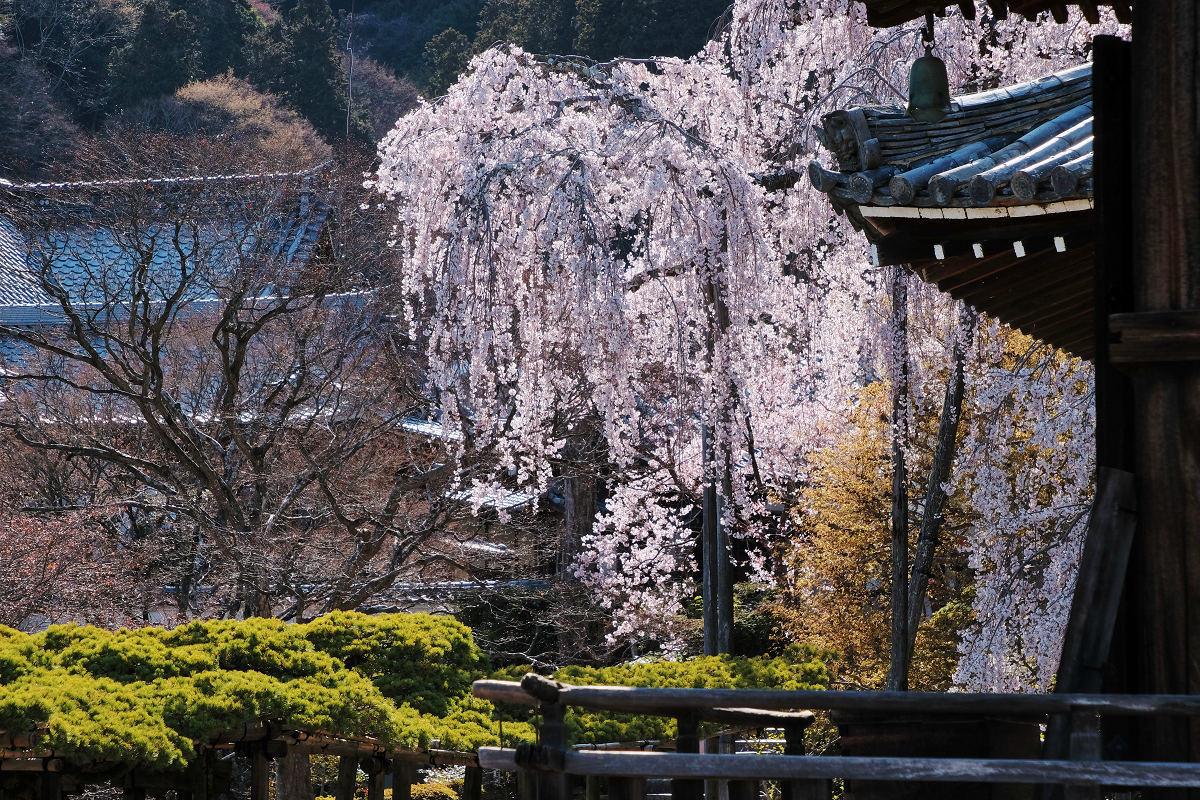 桜 2019_f0021869_00130566.jpg