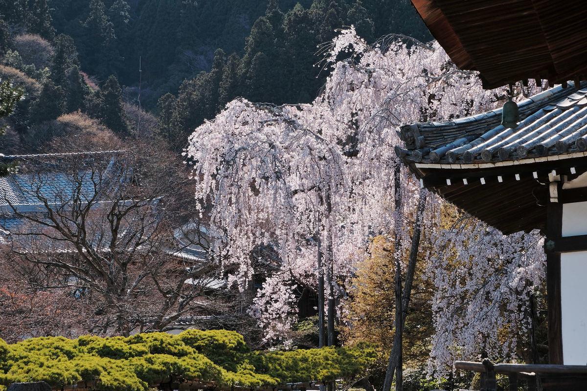 桜 2019_f0021869_00130579.jpg