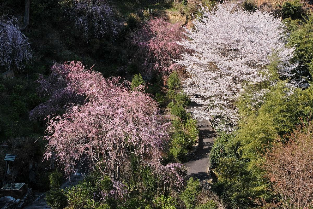 桜 2019_f0021869_00130600.jpg
