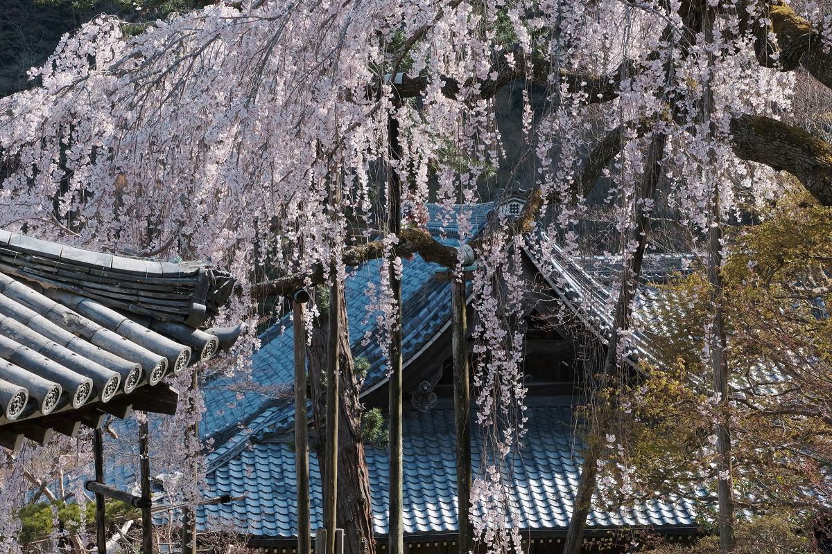 桜 2019_f0021869_00130777.jpg