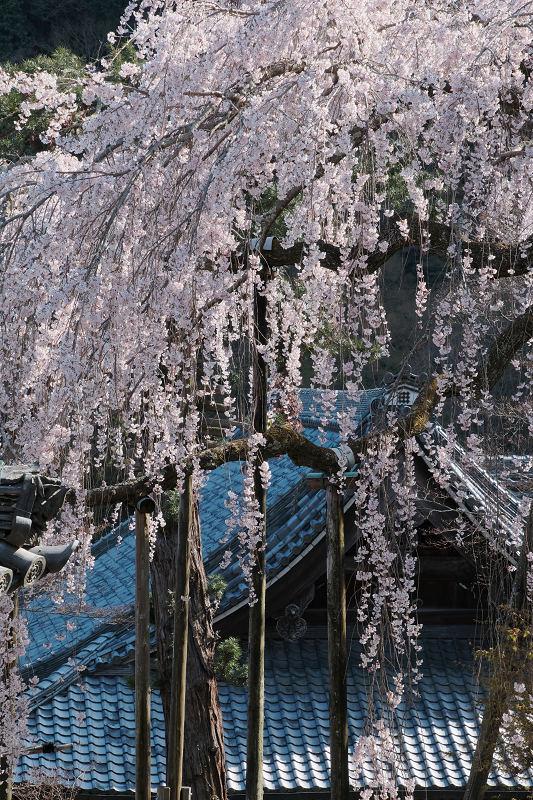 桜 2019_f0021869_00130783.jpg