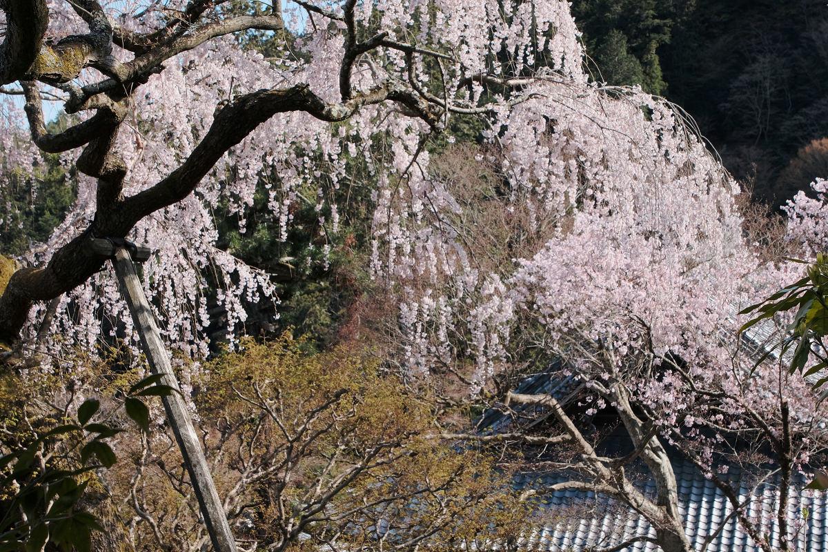 桜 2019_f0021869_23470293.jpg