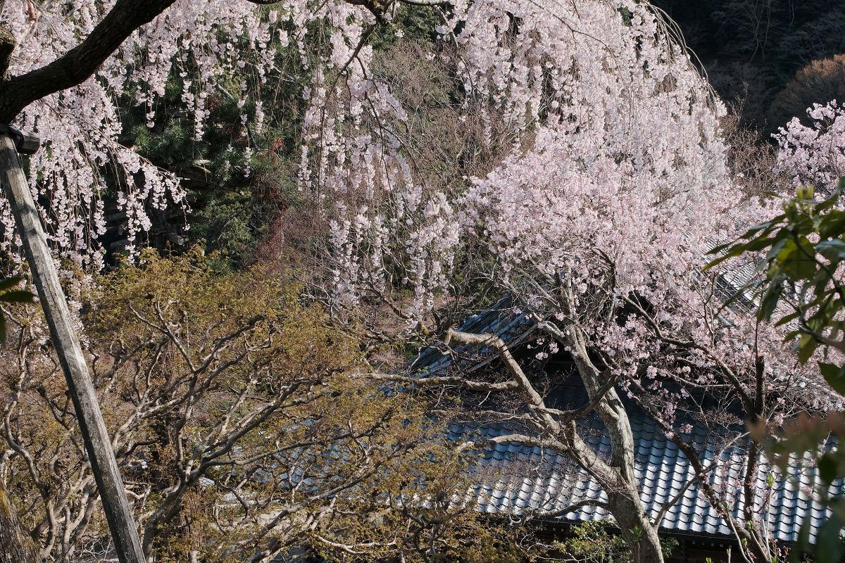 桜 2019_f0021869_23470359.jpg