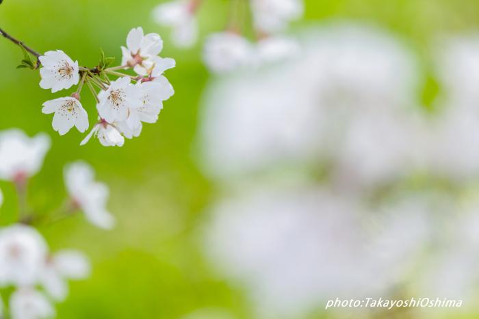 桜撮影会_f0361287_19554162.jpg
