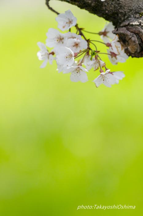 桜撮影会_f0361287_19560679.jpg