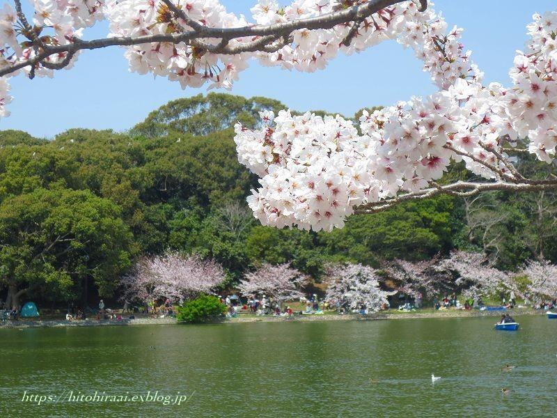明石城と桜_f0374092_17521994.jpg
