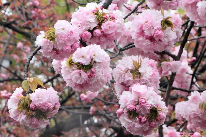 葉かげに垂れて咲く…_f0083400_22375364.jpg