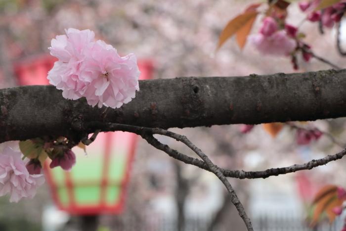 葉かげに垂れて咲く…_f0083400_22382561.jpg