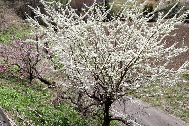 北毛に春が来た - 2019年桜・上越線 -_b0190710_21413120.jpg