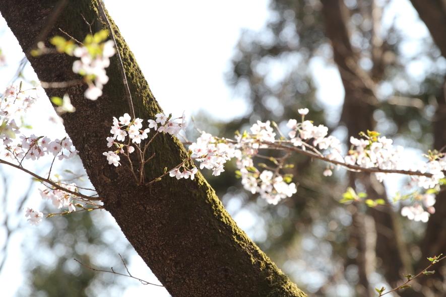 北毛に春が来た - 2019年桜・上越線 -_b0190710_21413255.jpg