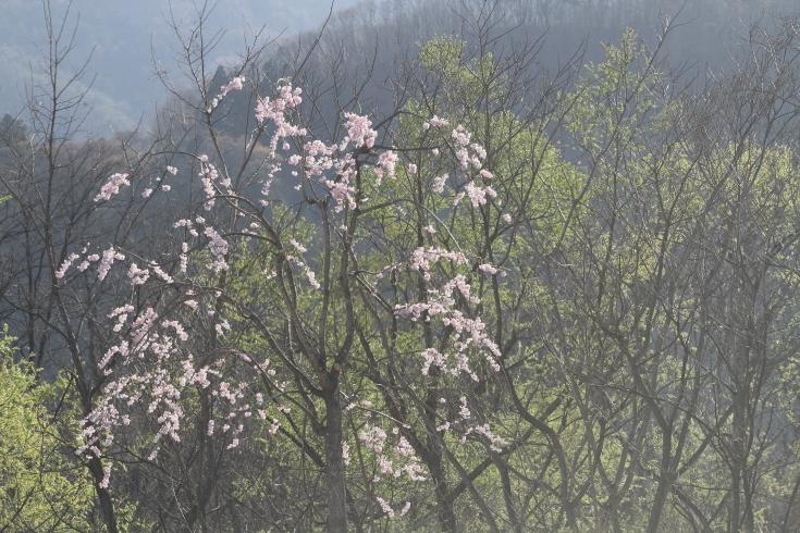 北毛に春が来た - 2019年桜・上越線 -_b0190710_21413267.jpg